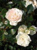 Rosa Sea Foam (Poly) Shrub Rose 2L Pot